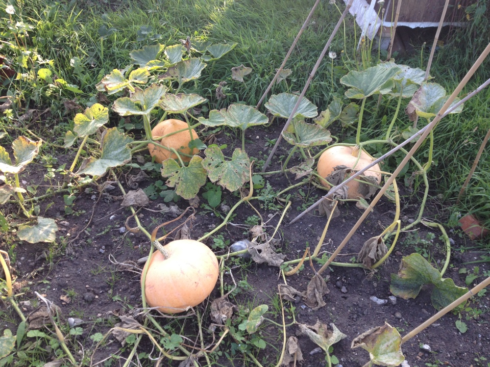 Homegrown pumpkins (Picture: Amy Willis)